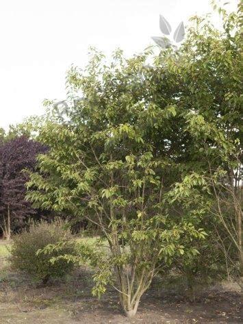 Samen Bestellen 1460 by Prunus Serrulata Shogetsu Japanse Sierkers