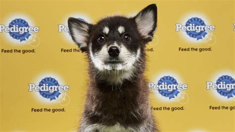 puppy bowl adoptions puppy bowl st cloud rescue places 12 players orlando sentinel