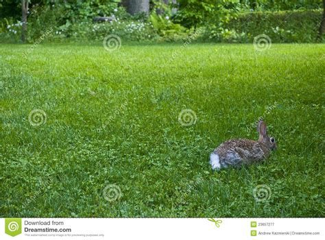backyard rabbit backyard rabbit royalty free stock photography image 23657277