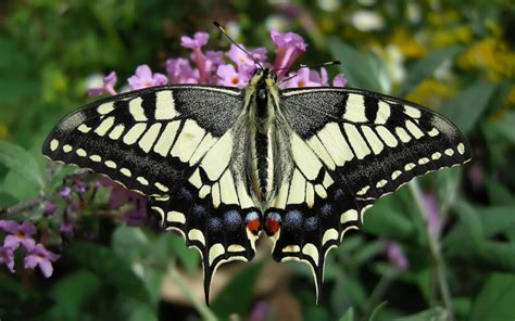 the butterfly the swallowtail butterfly the garden of eaden