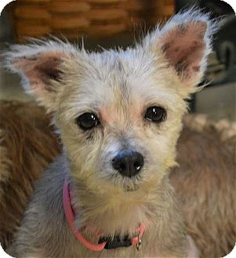 maltese yorkie mix puppies adoption hagerstown md maltese yorkie terrier mix meet pepper a for adoption