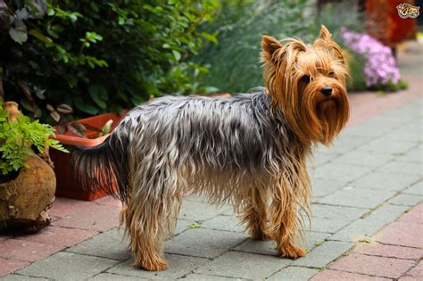 buying a yorkie puppy terrier breed information buying advice photos and facts pets4homes