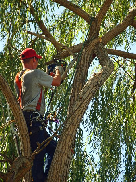 Tree Trimming Ideas 5 Tree Trimming Tips For Beginners Southwest Ohio Tree