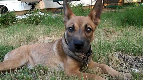 german shepherd and pitbull mix puppies german shepherd pitbull mix breed info characteristics and pictures animalso
