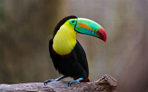 birds with colorful beaks high definition picture of bird toucan image of big beak