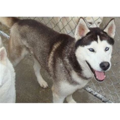 siberian husky puppies for sale wi siberian husky breeders in wisconsin freedoglistings