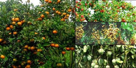 tips agar tanaman berbuah sepanjang waktu