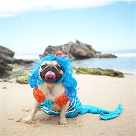 pug dressed up a pug dressed up as a mermaird pug vs food pictures pics express co uk