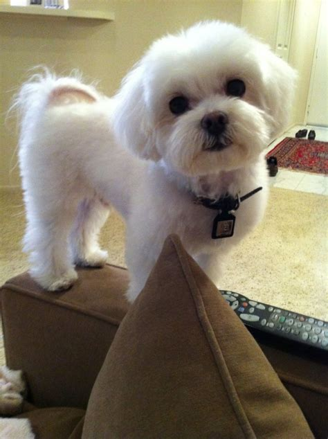 how do i get dog hair off my couch 1000 ideas about maltese haircut on pinterest maltese