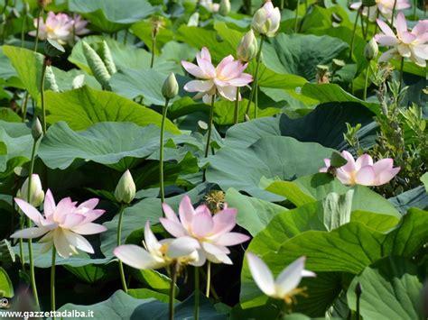 allevamento fior di loto da ceresole all olanda la storia dei fior di loto di