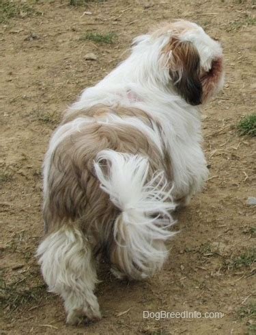 shih tzu rescue ta shih tzu breed pictures 1