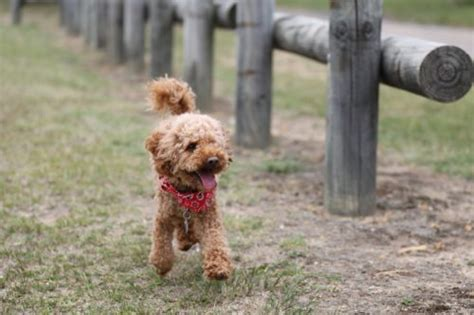 orange county indiana poodle rescue poodle temperament personality canna pet 174