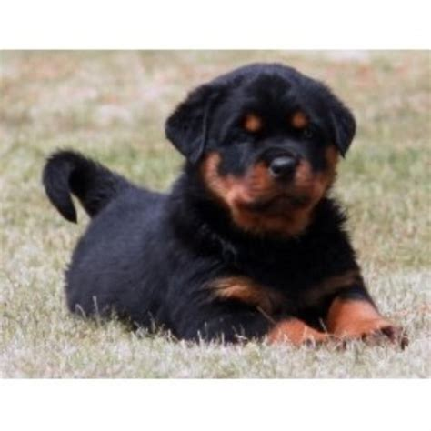 rottweiler puppies for sale bakersfield ca sky ranch rottweilers rottweiler breeder in bakersfield california listing id 20633
