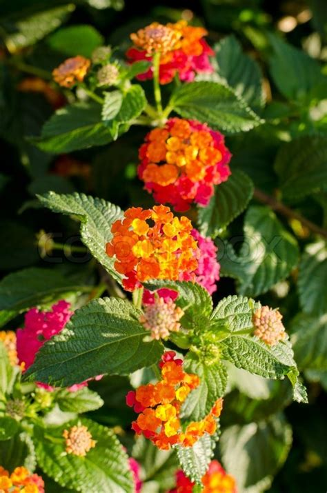 Gamis Orange Pink Flower yellow orange and pink lantana flowers on a soft focus green background stock photo colourbox