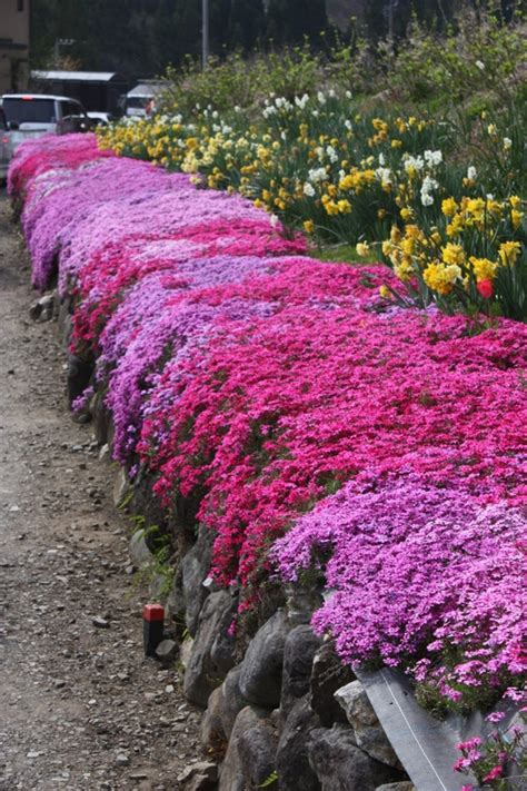flowering evergreen ground cover as beautiful world flowers