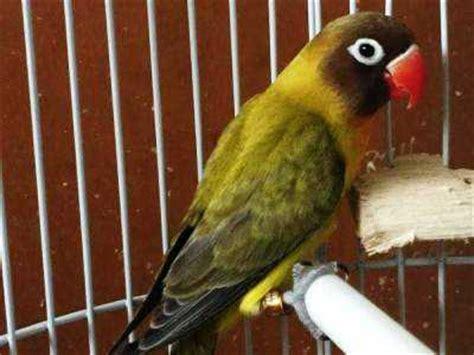 ciri umum burung lovebird euwing atau ewing beserta gambar dan harganya burungcantik