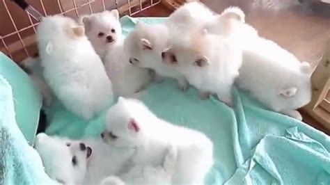 fluffy pomeranian puppies bunch of fluffy puppies so pomeranian puppies