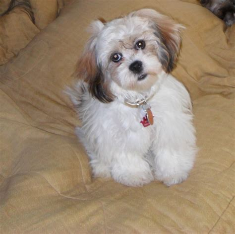 how to lhasa apso lhasa apso puppies rescue pictures information temperament characteristics