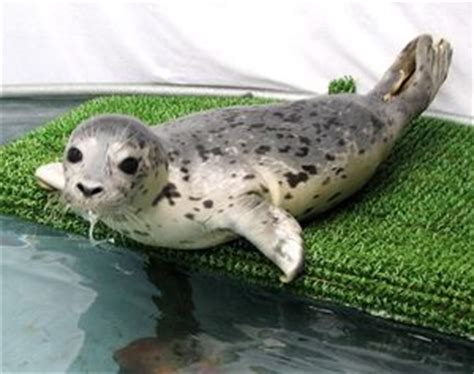 Seal Pop Seal Jus stranded harbor seal pup but don t touch the seattle times