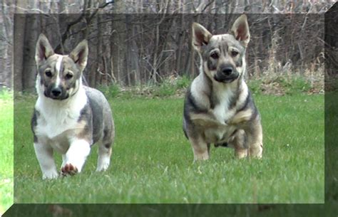 swedish vallhund puppies swedish vallhund pictures posters news and on your pursuit hobbies