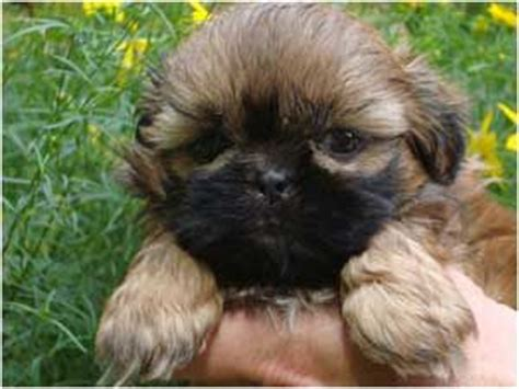 shih tzu puppies for sale in ri country home shih tzu puppies for sale in massachusetts connecticut new hshire