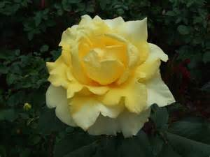 Yellow Rose Flowers - yellow rose flowers photos and identification pinterest