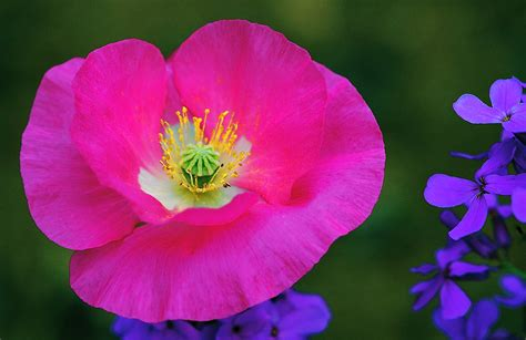 spring s oriental pink poppy and other meadow flowers part two lens and pens by sally