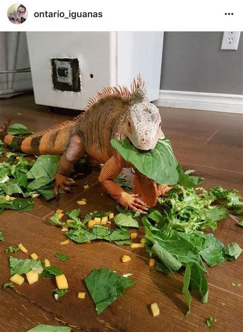 ontario iguanas pet iguana enjoying  messy salad