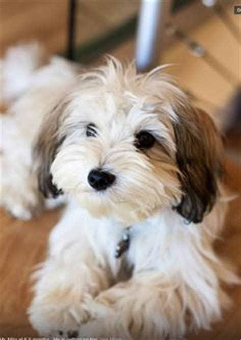 havanese teddy cut 1000 ideas about teddy dogs on dogs bichon frise and shih tzu
