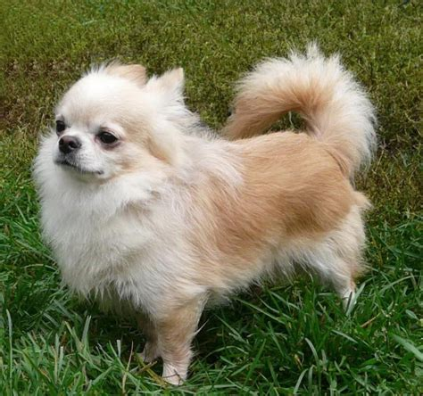 hair cuts for long haired chihuahuas dogs different types of chihuahuas alldogsworld com