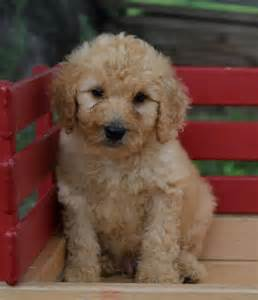 goldendoodle puppies for sale in ri and cuddly goldendoodle pups craigspets