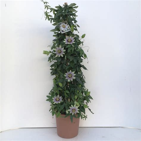 passiflora pyramide vaso 24