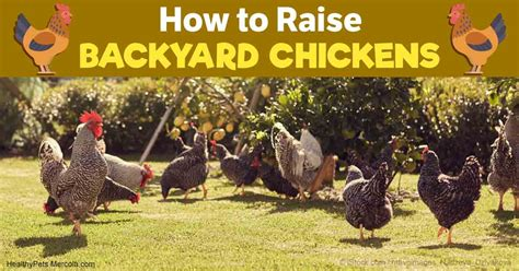 how to raise backyard chickens how to raise healthy happy long lived backyard chickens