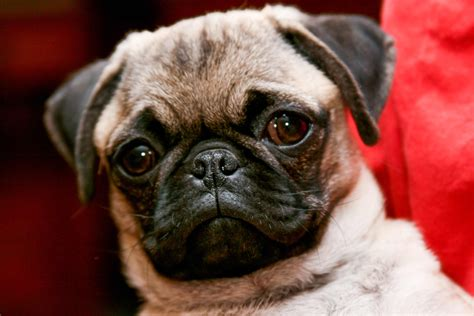 pug hypoallergenic pug breed 187 information pictures more