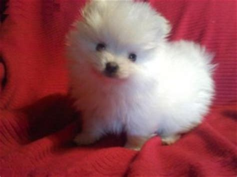 black teacup pomeranian grown the gallery for gt white pomchi