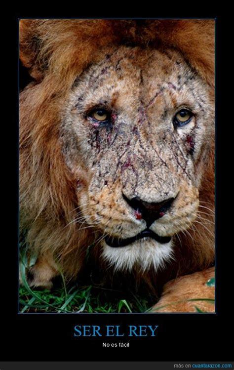 imagenes de leones viejos 161 cu 225 nta raz 243 n ser el rey