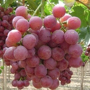 Bibit Yoghurt Di Supermarket bibit tanaman buah impor bibit