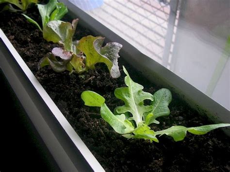 Grow Vegetables Indoors Over Winter Indoor Vegetable Gardening