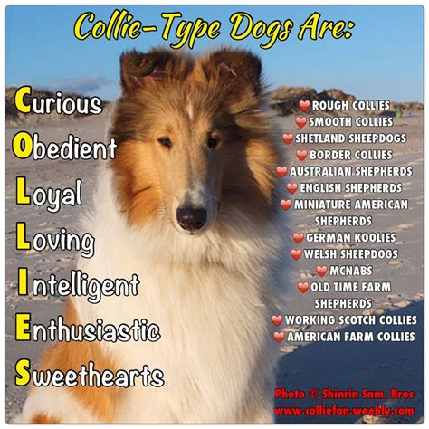 Border Collie Meme - 124 best images about border collie on pinterest corgis