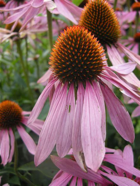 echinacea purpurea landscape architect s pages