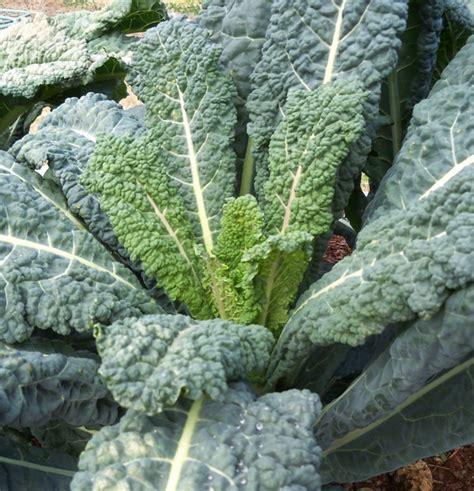 grow kale  seed north carolina cooperative