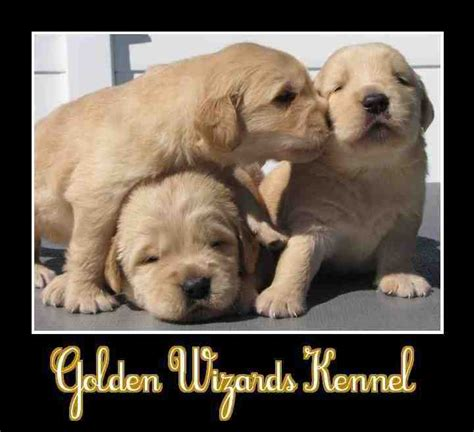 golden retrievers nh golden retriever puppy breeders nh dogs in our photo