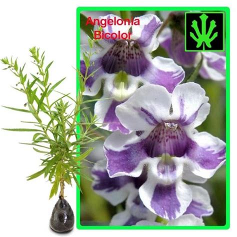 Tanaman Angelonia Putih jual tanaman angelonia bicolor hp 085608566034