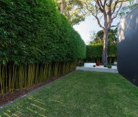 growing bamboo in container bamboo hedge backyard and