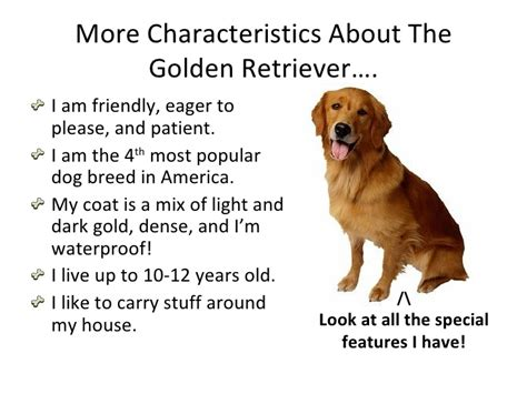 characteristics of golden retrievers goldie s golden retriever