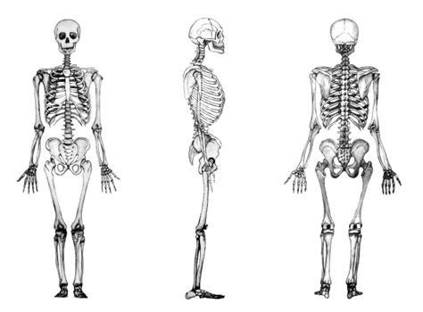 pelvis esqueleto humano frente cibertareas funciones de los huesos anatom 237 a y fisiolog 237 a humana i