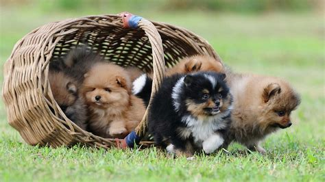 basket of puppies basket of puppies wallpaper 30660