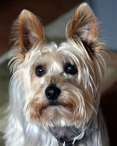 pictures of silky yorkies hannibal the silky terrier flickr photo