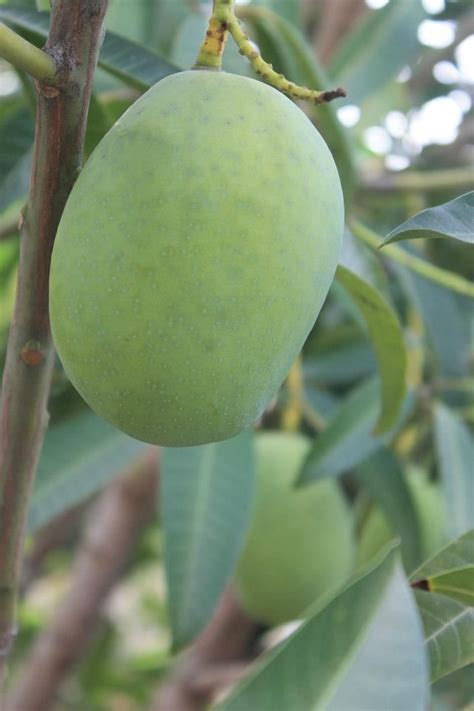 Mango Kuini 288 best images about indonesia culinary herbs spices