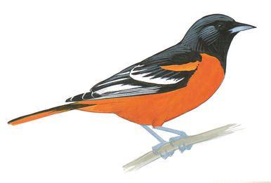 american redstart audubon field guide